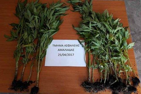 Κατασχέθηκαν 21 δενδρύλλια κάνναβης σε θερμοκήπιο