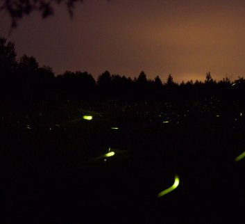 summer night fireflies
