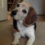 Gratitude Week 4: My Beagle