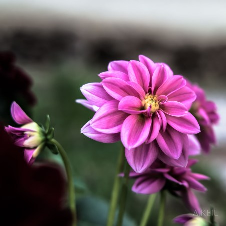 Dahlia Flower #20150418-0989