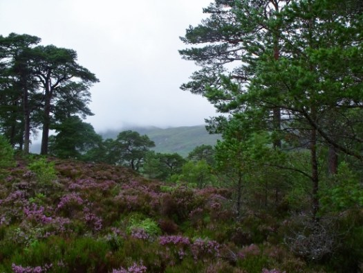 heather at Glen Affric