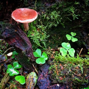 fairy scence: toadstool and wood sorrel