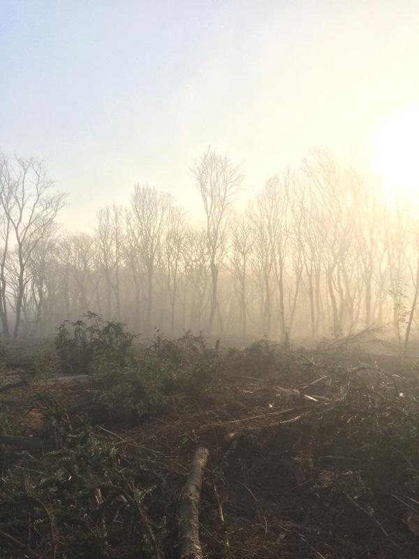 misty woods, birches
