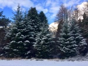 snowy trees at Delgatie