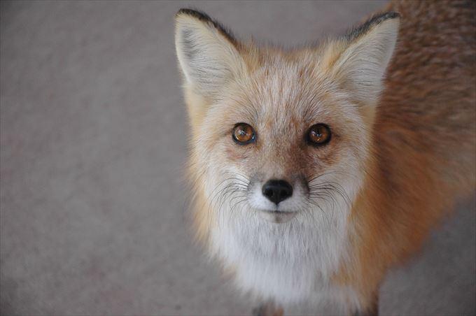 見上げる狐