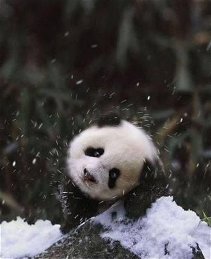 首を振るパンダがかわいい