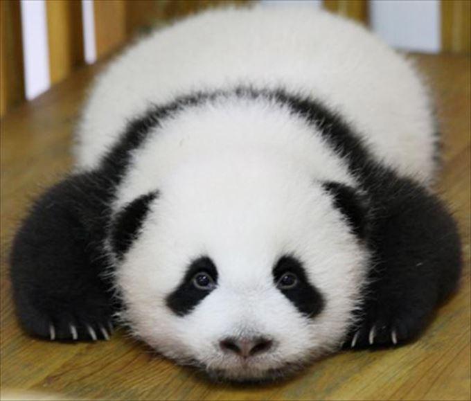 可愛いすぎる癒されパンダ(画像、動画集まとめ)