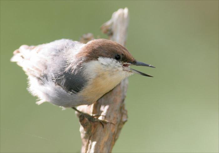 かわいい鳥 6.2