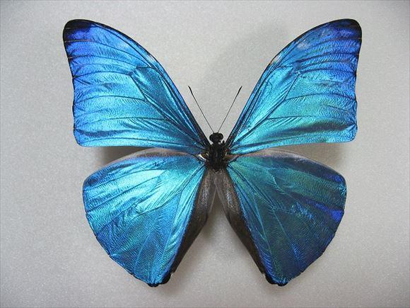 美しい蝶 11.0
