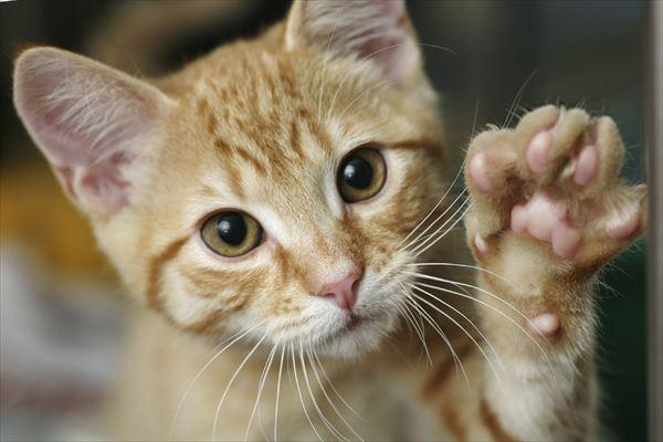 猫の肉球だけ~ねこの肉球雑学も~(画像100選)