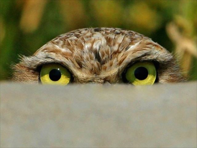 フクロウ画像 62