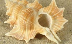 世界中の美しい貝・貝殻(画像集)