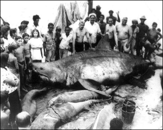 メキシコ湾の巨大ホホジロザメ