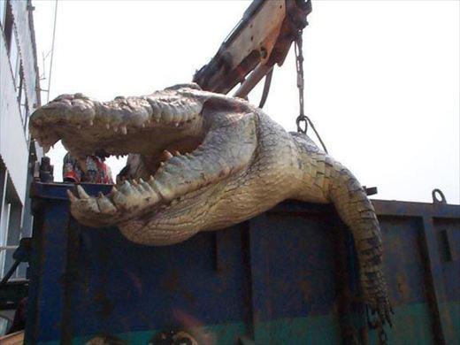 7mを超える世界最大の超巨大ワニ(ランキング&画像)