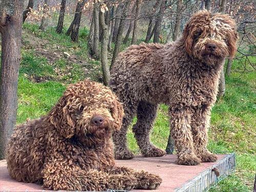 珍しい犬ロマーニョ・ウォーター・ドッグ
