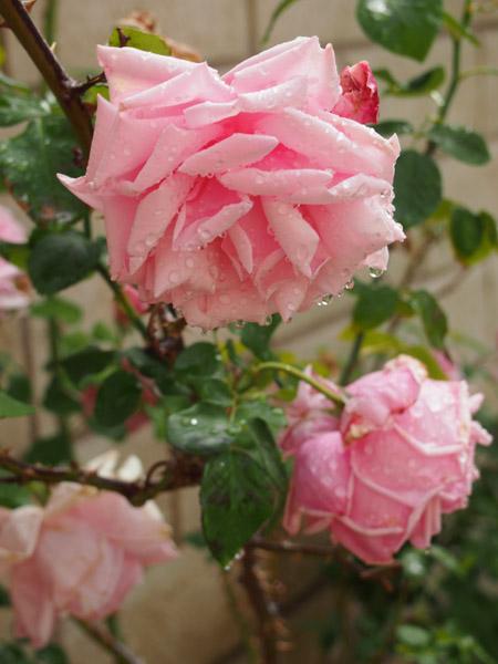 La France Cl. Rose