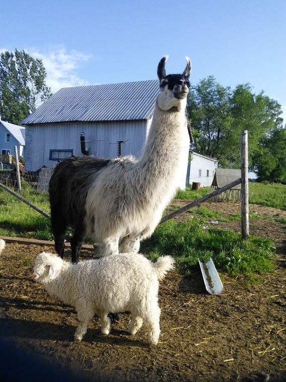 llama half and half