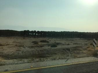 Date Trees along Dead Sea