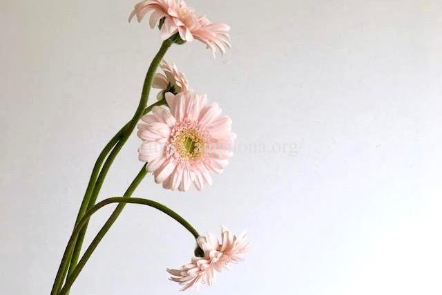 しおれたガーベラの花を復活させる方法