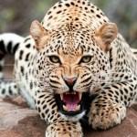 豹こと中村の「THE豹柄コレクション」。