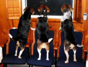 Three beagles look out a window