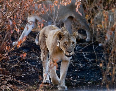lioness walking towards me