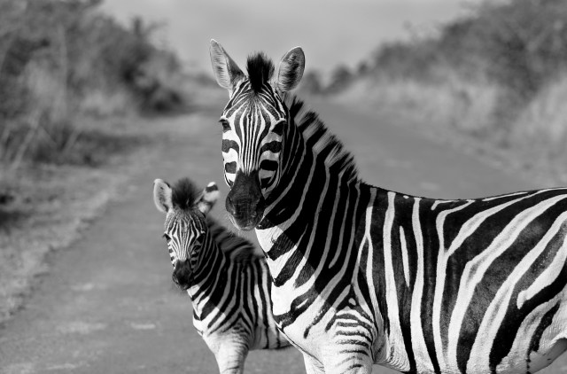 Mother and baby zebra taken in the wild