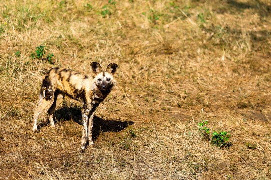 Nini the wild dog taken in South Africa