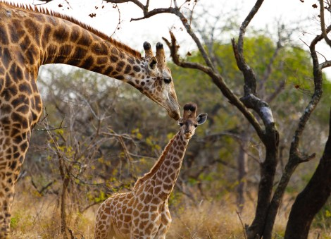 Father and baby giraffe in the wild in South Africa