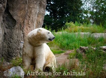 A polar bear in Rotterdam zoo
