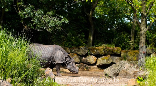 Indian rhino at Rotterdam Zoo