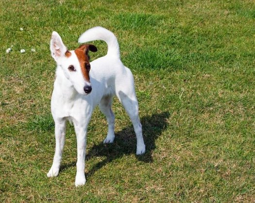 פוקס טרייר זיפי וחלק Fox Terrier  Smooth & Wire - הגזעים הבריאים ביותר