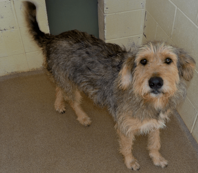 Buster – mixed Airedale-Claimed by owner
