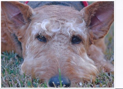 Airedale Rescue Group 2013 Calendar – Available!