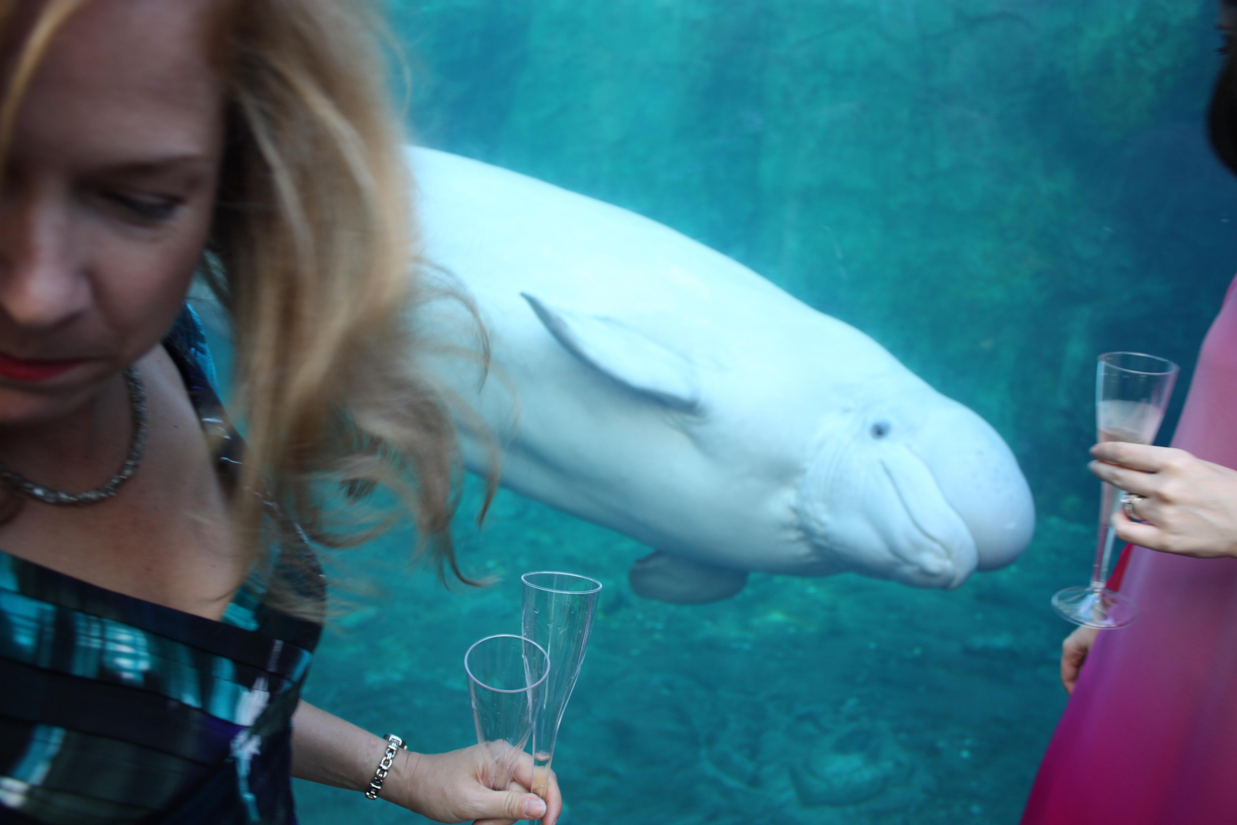 spying beluga (smaller)