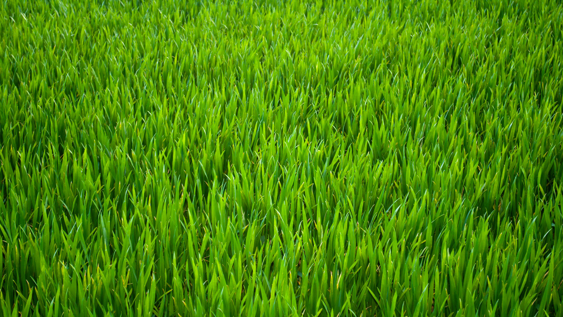 Airdrain Agronomic Drainage Natural Grass Installations