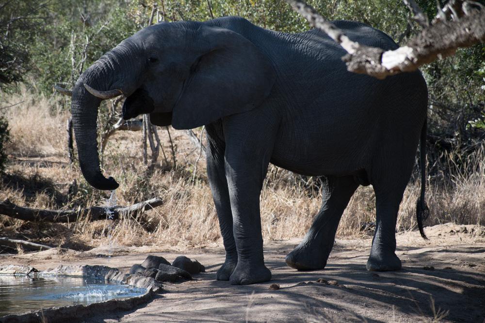 Elephant at the Khoka Moya Camp waterhole - Manyeleti Game Reserve
