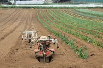Rotovator next to negi crop