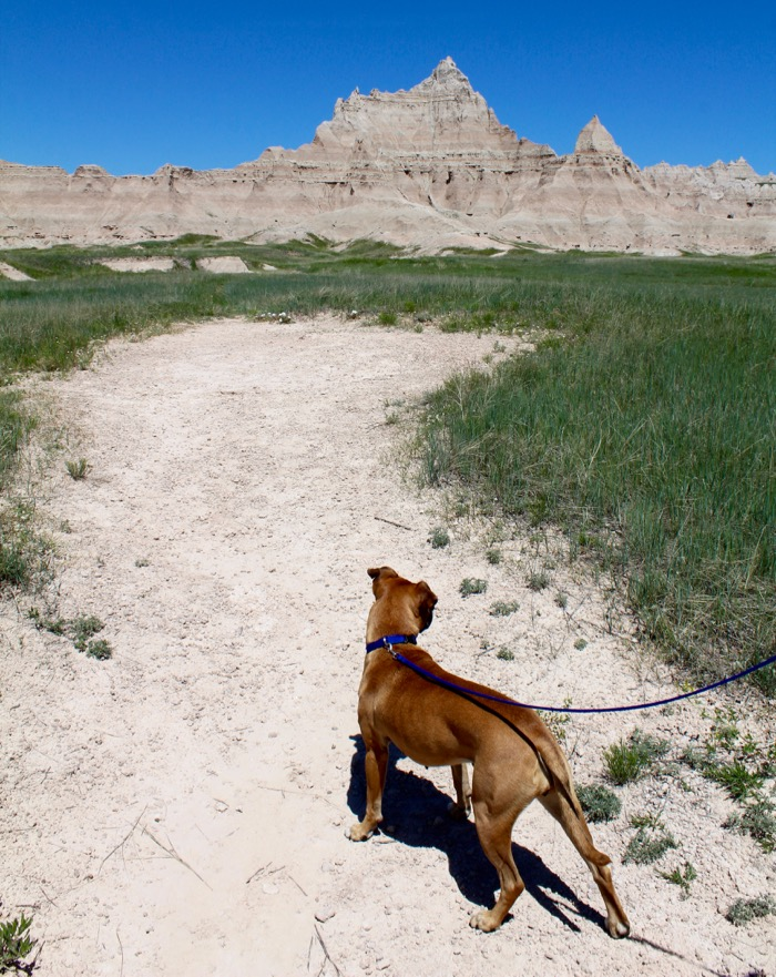 dog at badlands national park