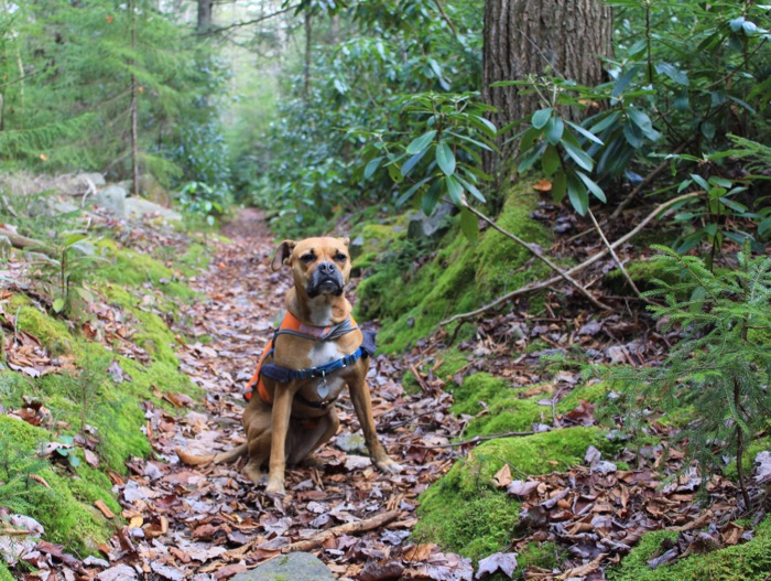 dog hiking with rhododendrons in canaan mountain backcountry