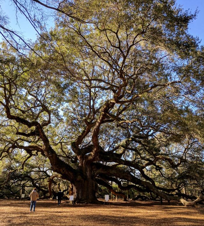 angel oak tree john's island