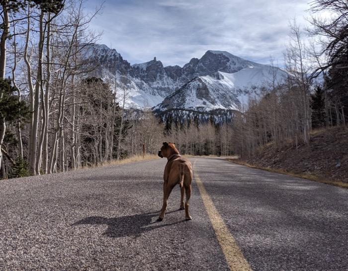 Bugsy looking at Wheeler Peak
