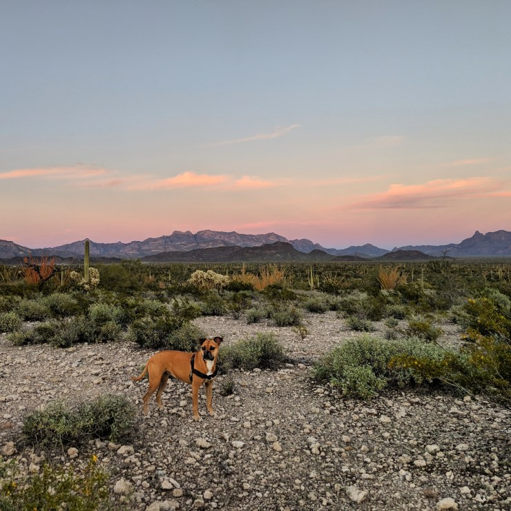 Bugsy at Organ Pipe