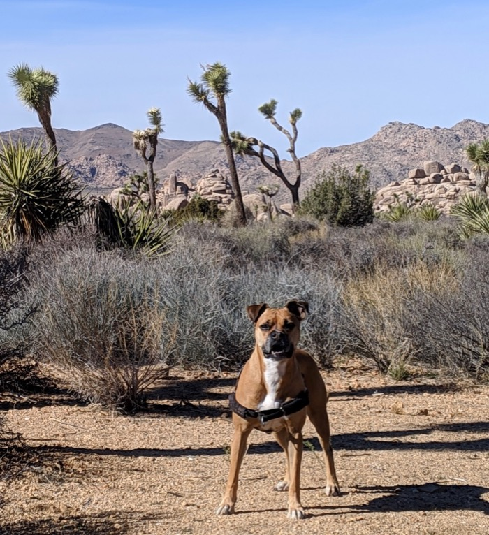 Bugsy and Joshua trees