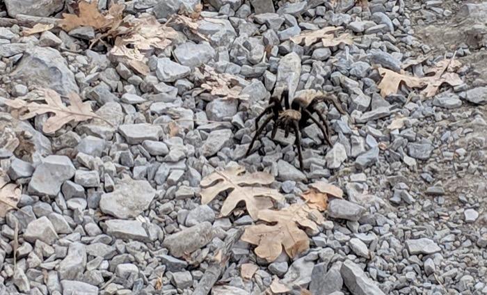 tarantula in Salt Lake City