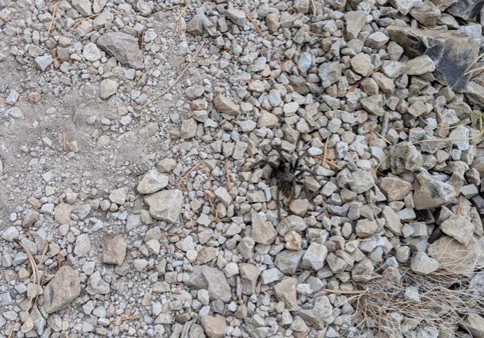 tarantula near Flagstaff