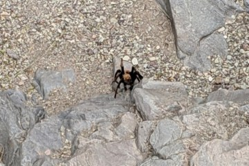 tarantula in Big Bend National Park