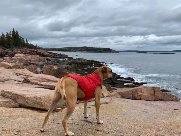 bugsy hiking ocean path at acadia