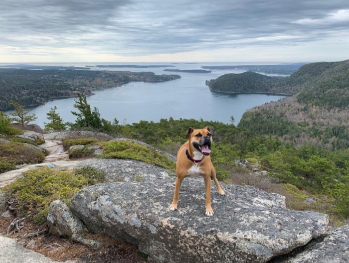 bugsy at a view from acadia mountain