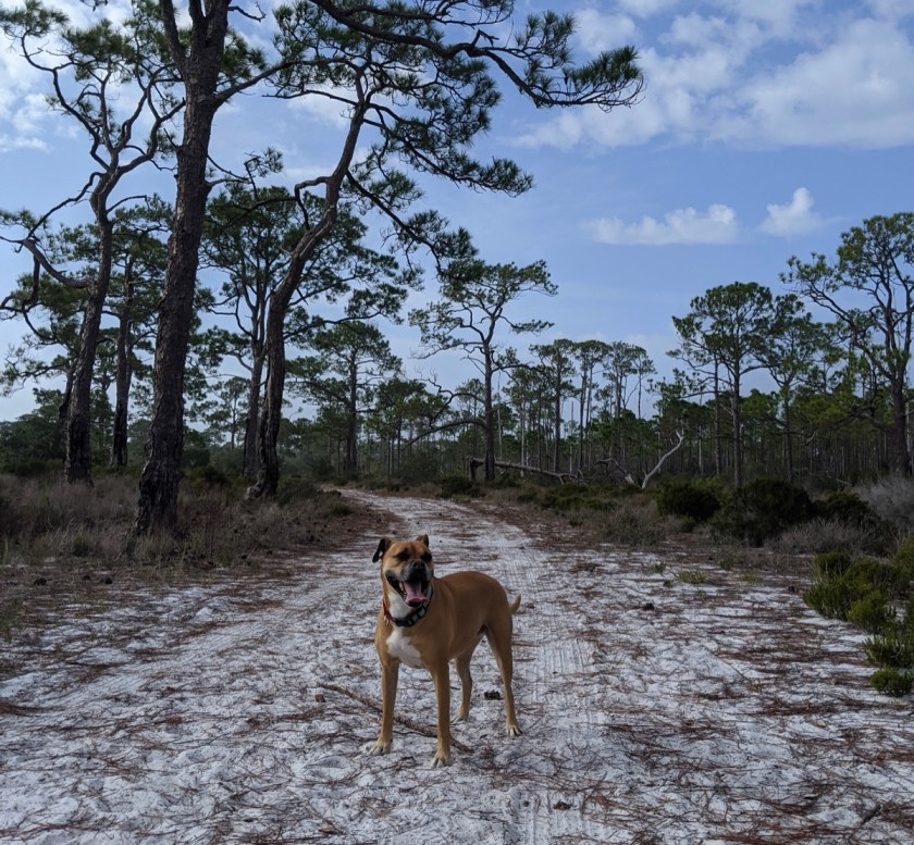 Bugsy hiking in St George Island State Park